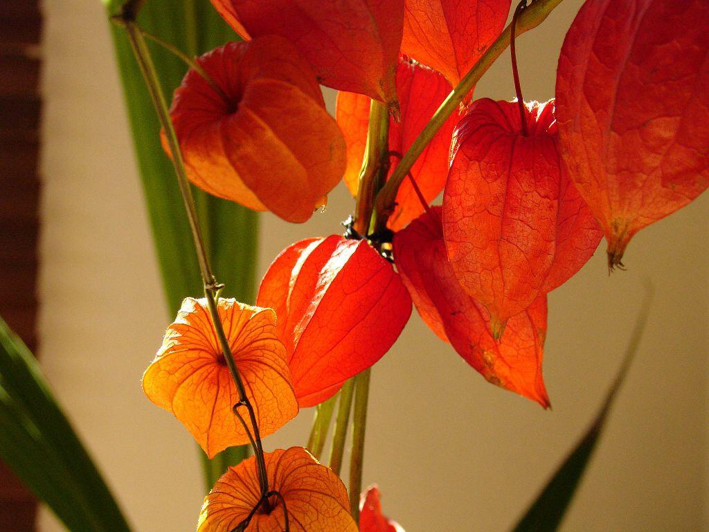 Физалис: описание, виды, фото, выращивание и уход