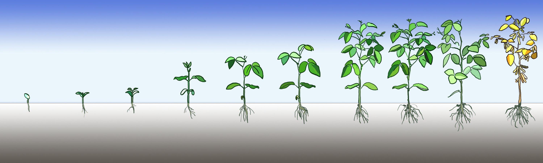 Вегетационный период растения методы определения вегетации, стадии, факторы