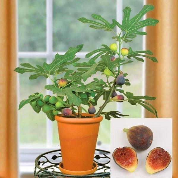 Дерево инжир: где растет фиговое дерево, его полезные свойства и противопоказания.
