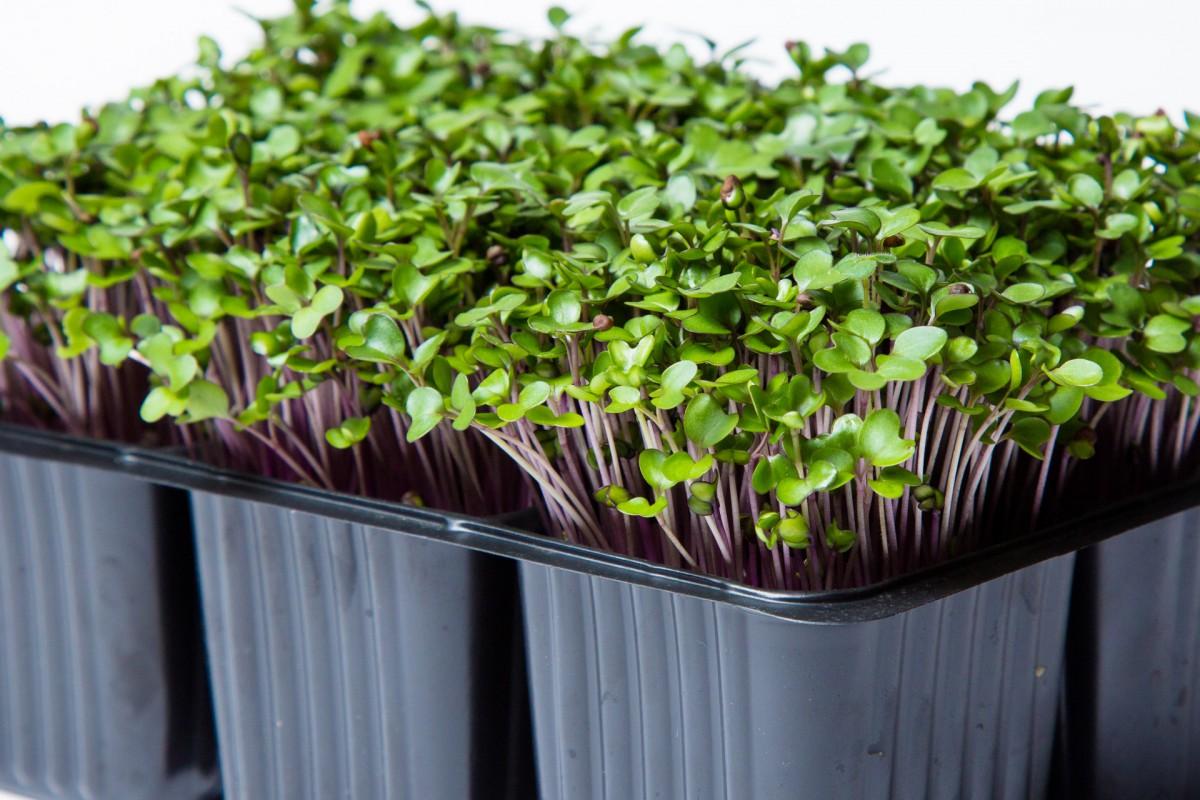Как вырастить микрозелень дома и в чем ее польза | about-you.ru  | яндекс дзен