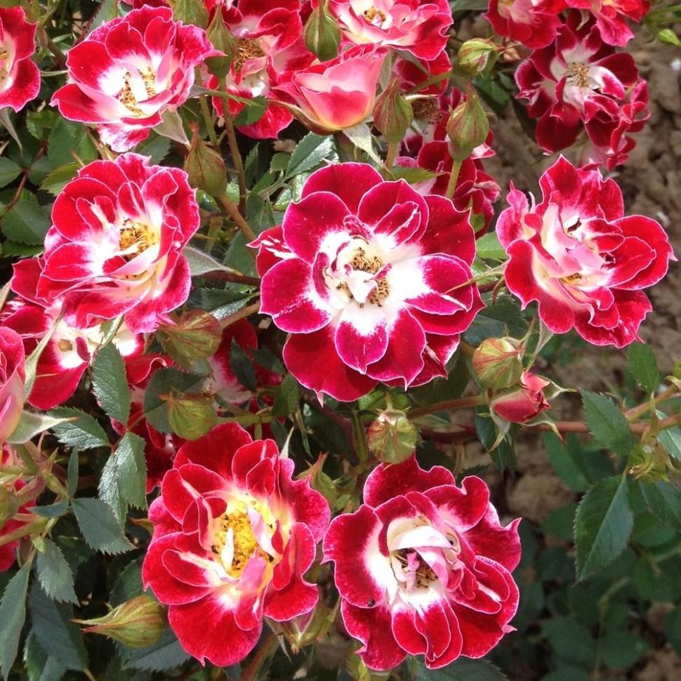 Выращивание лучших сортов роз группы спрей