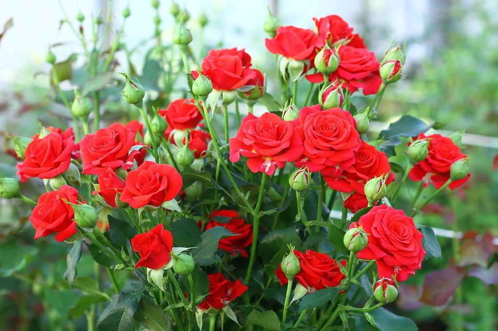 Роза спрей: выращивание и уход в открытом грунте.