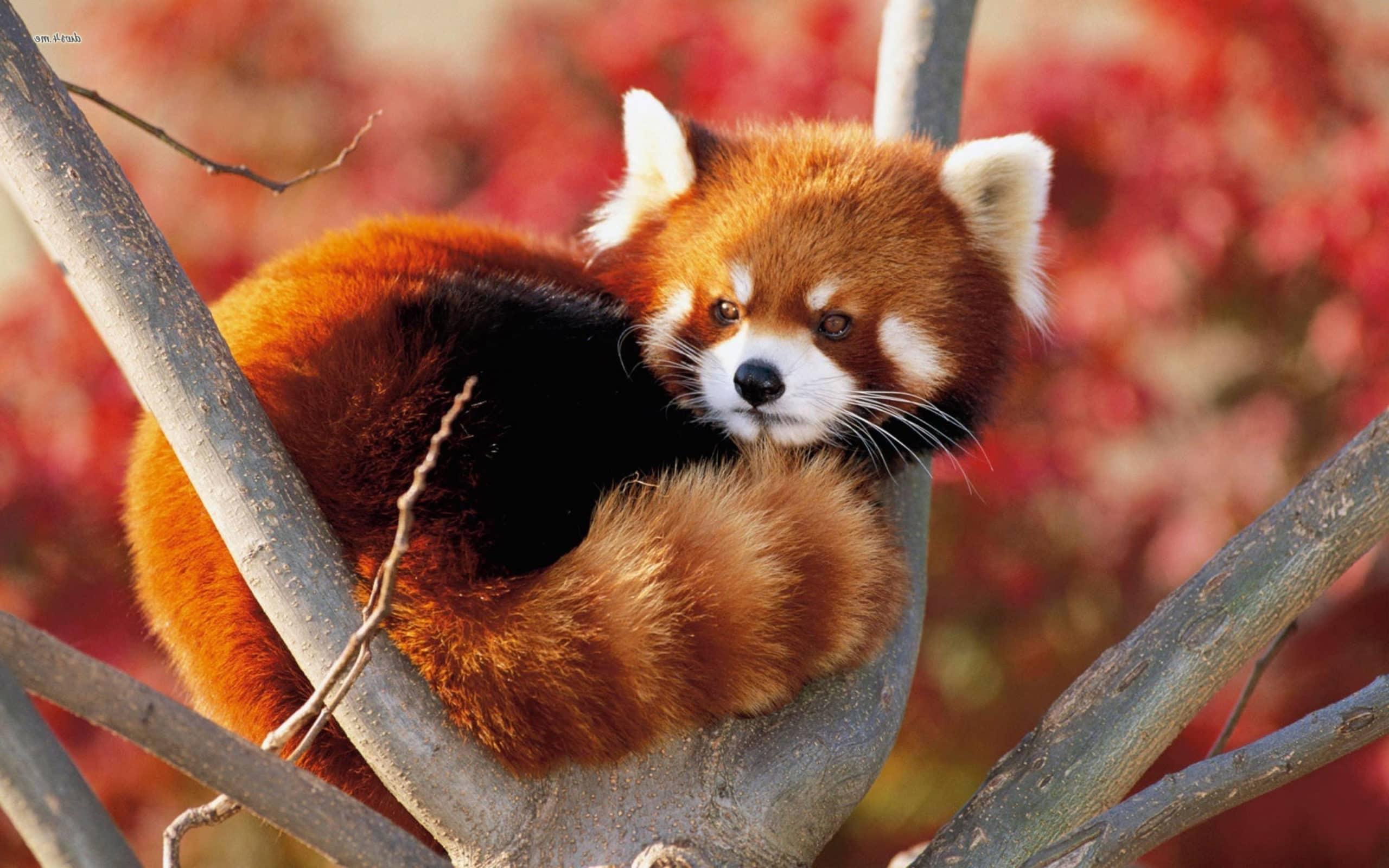 Панда: описание, где обитает, чем питается, фото и видео  - «как и почему»