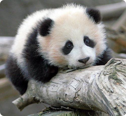 Панда это медведь? описание, фото и видео  - «как и почему»