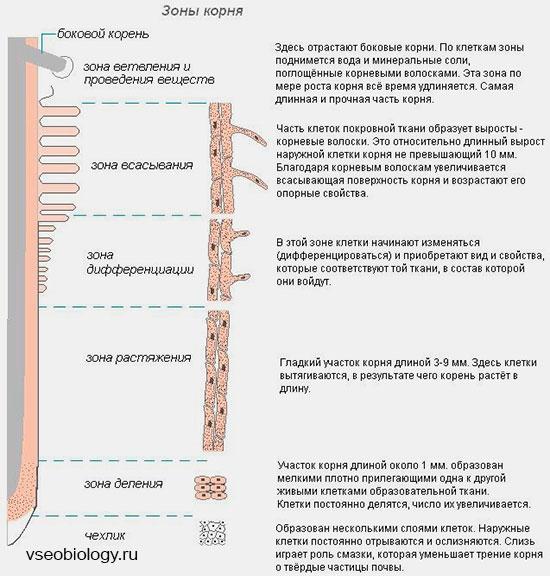 Зоны корня. функции основных зон корня растения.
