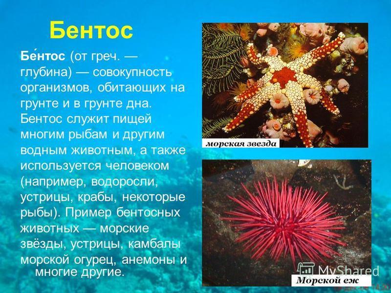 Бентос - это... планктон, нектон, бентос