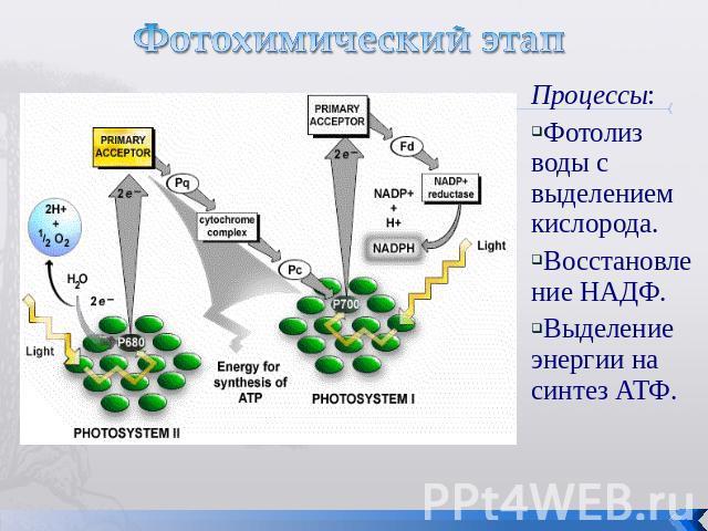 Что такое фотосинтез: что происходит в растении в процессе фотосинтеза, что выделяется в световую и темновую фазу фотосинтеза