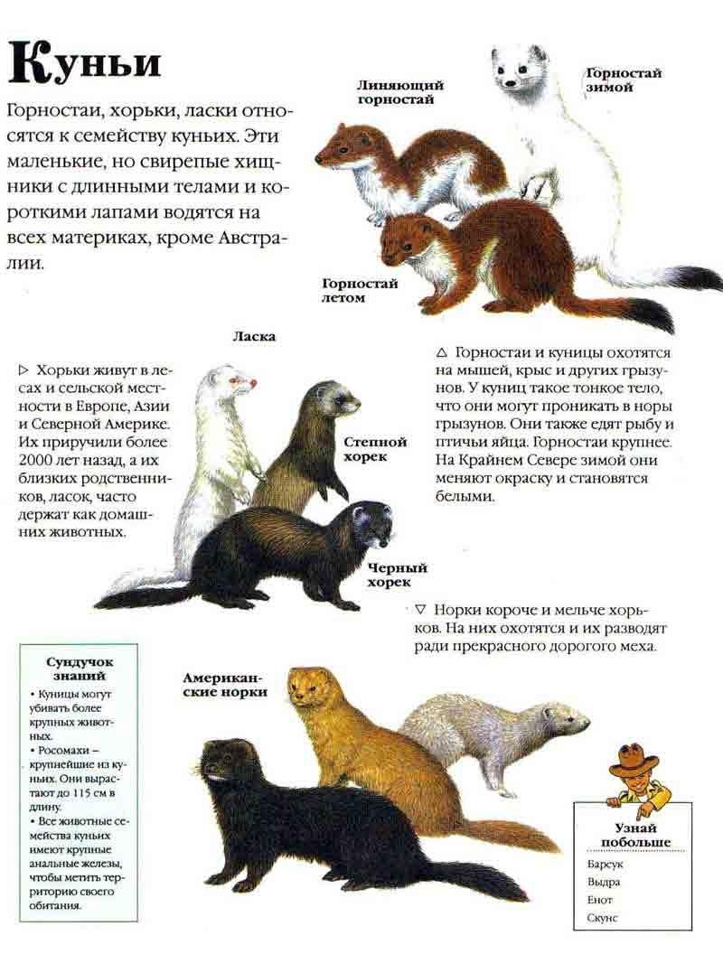 Как выглядит куница (фото) — виртуозный лесной хищник: kot-pes