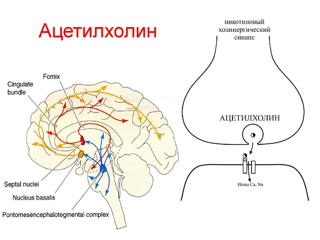 Нейромедиаторы - функции, действие, виды