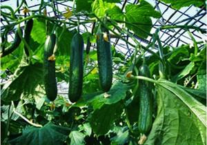 Что из себя представляют и как выращивать партенокарпические огурцы
