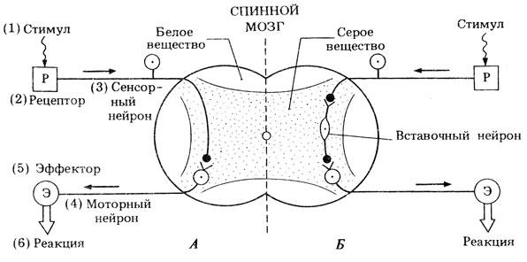 Psi: рефлекс и рефлекторная дуга