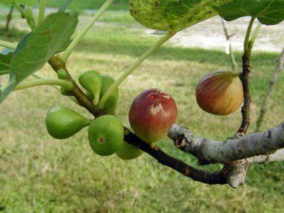 Инжир (фиговое дерево): выращивание в домашних условиях, размножение