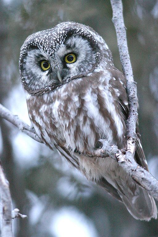 Сыч – фото и описание птицы, виды, видео, послушать голос