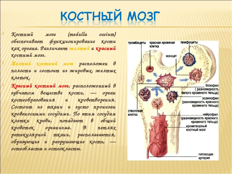 Чем полезен костный мозг? польза и состав   пища это лекарство