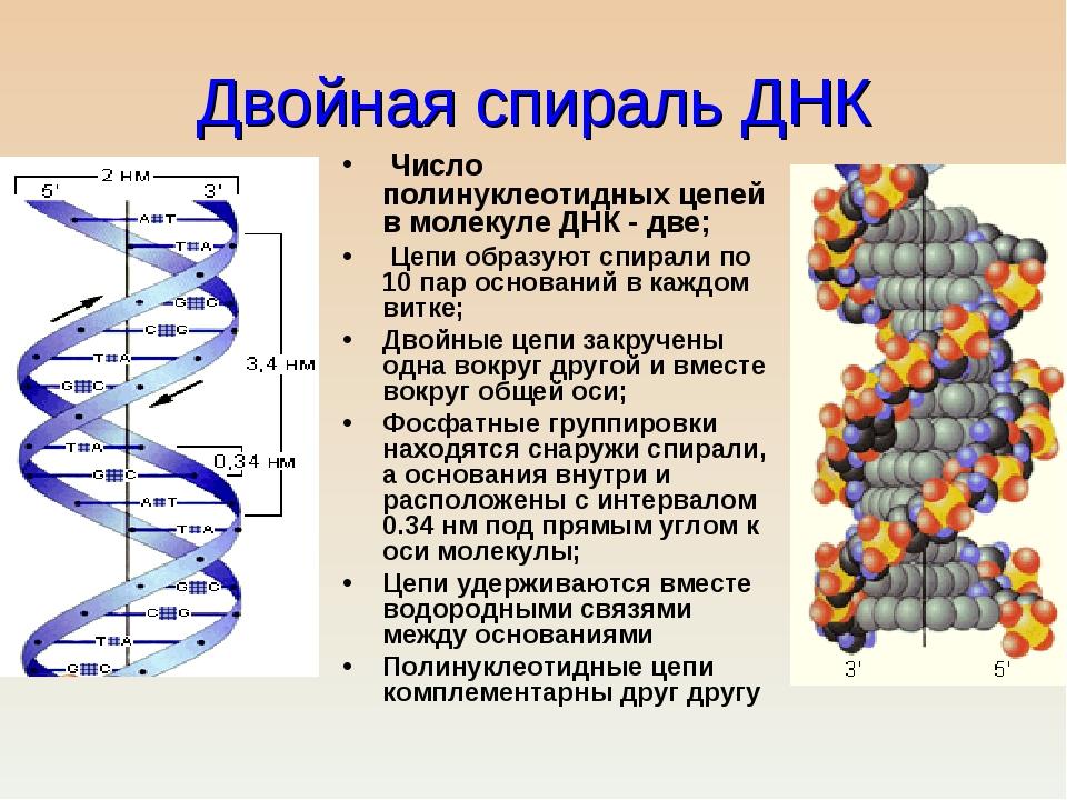 Что такое днк? | joinfor.ru