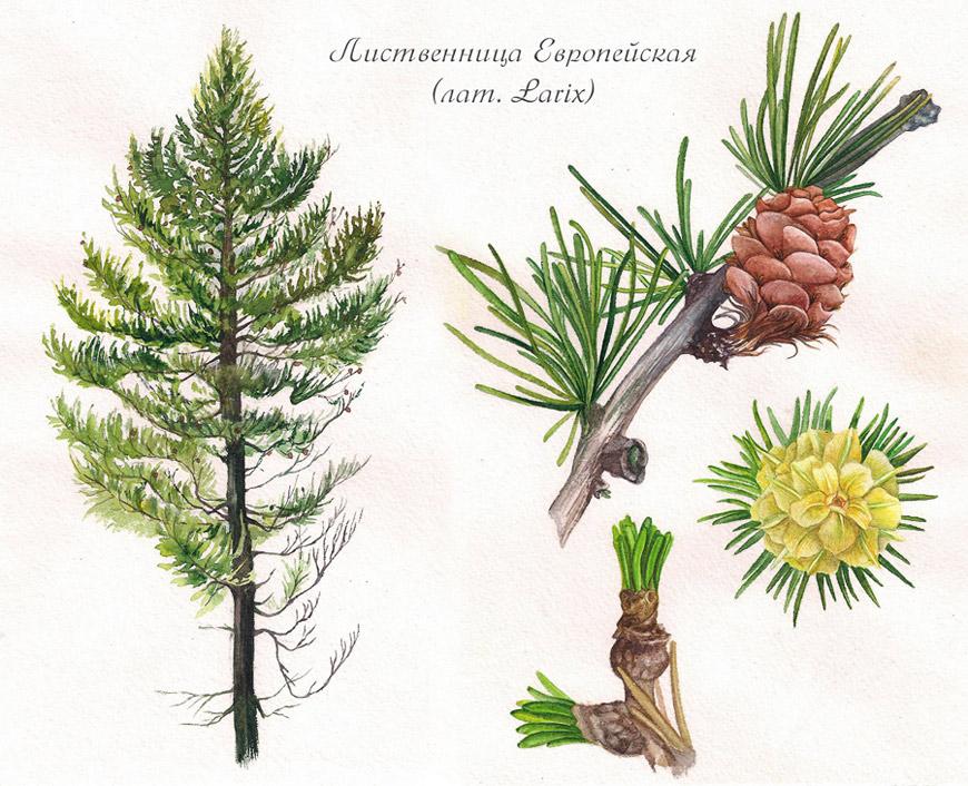 Выращивание лиственницы. о чем должен помнить каждый садовник?