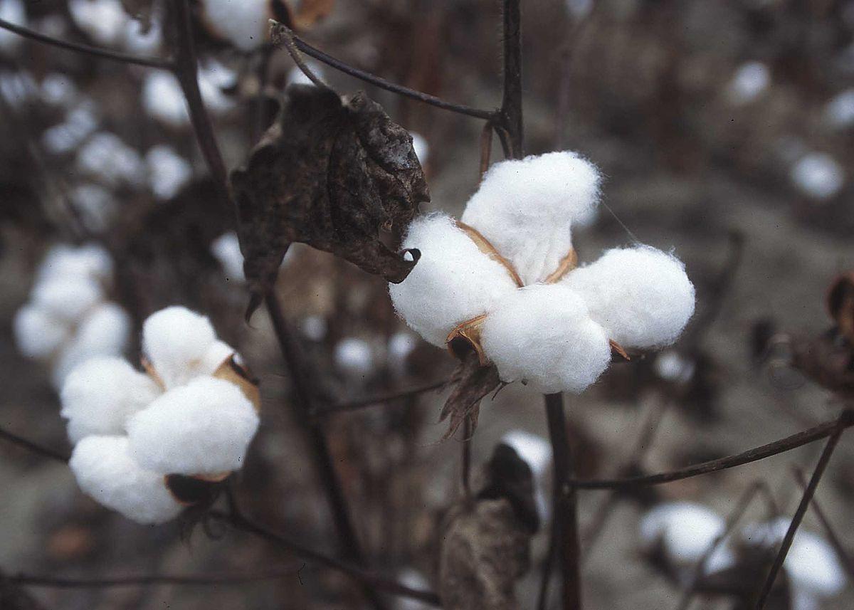 Хлопок (45 фото): свойства плотной хлопчатобумажной ткани, тонкий польский 100% хлопок, виды материала и его отличия от льна. что делать, если хлопок садится после стирки?