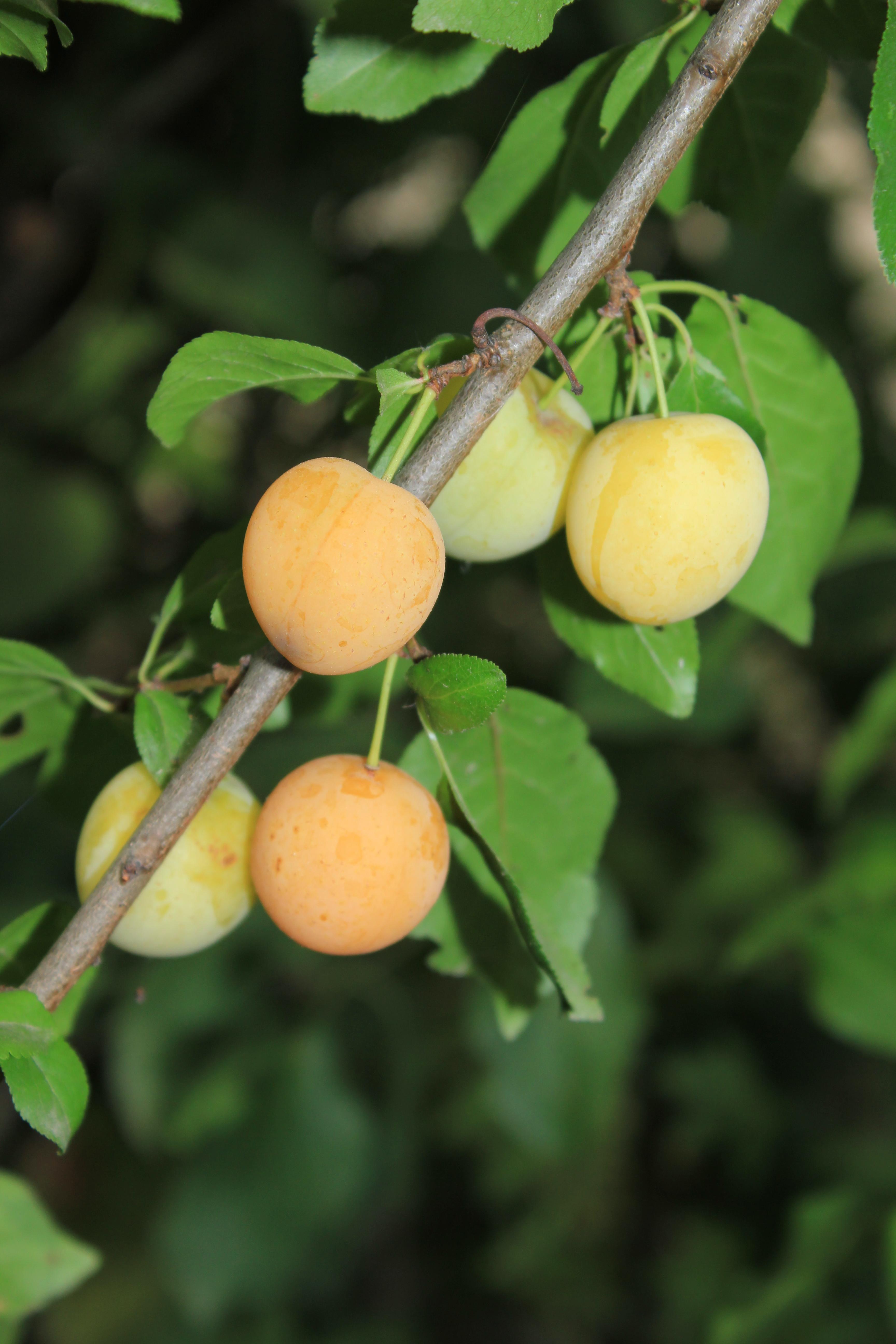 Дерево-фрукт алыча. виды алычи - зеленая, желтая, красная, дикая, колоновидная и крупноплодная