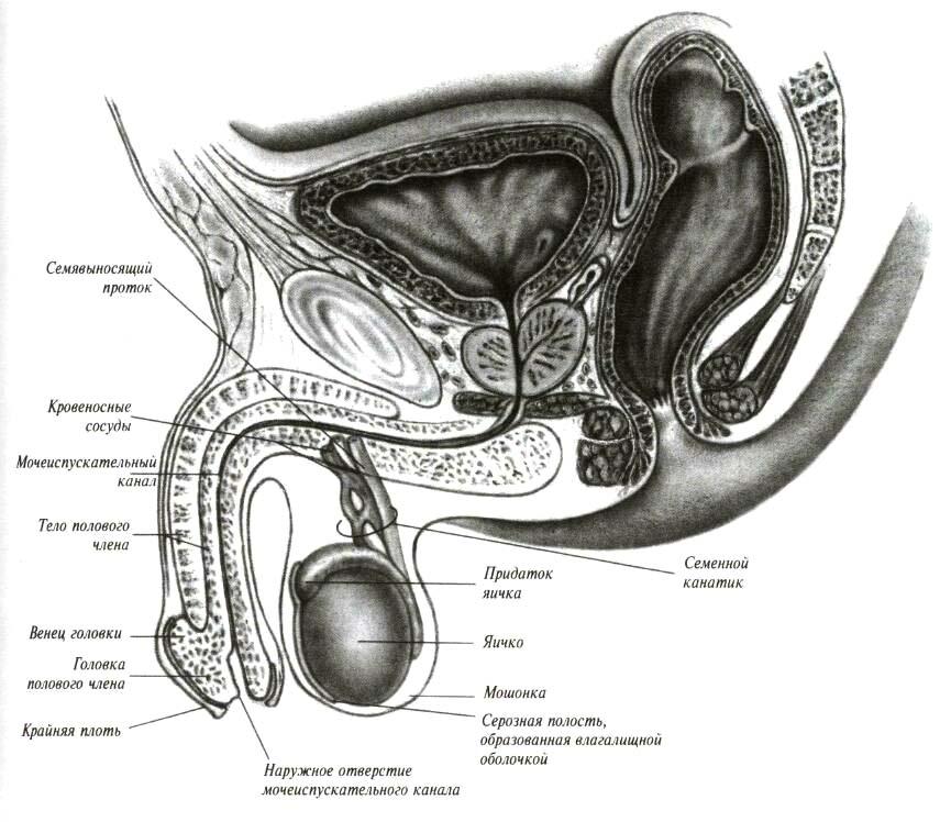 Строение мужского пениса - как выглядит половой орган изнутри? | анатомия как устроен пенис у мужчин? | анатомия