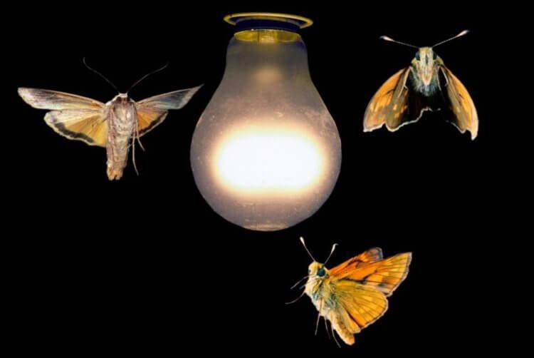 Ночные мотыльки: описание и образ жизни