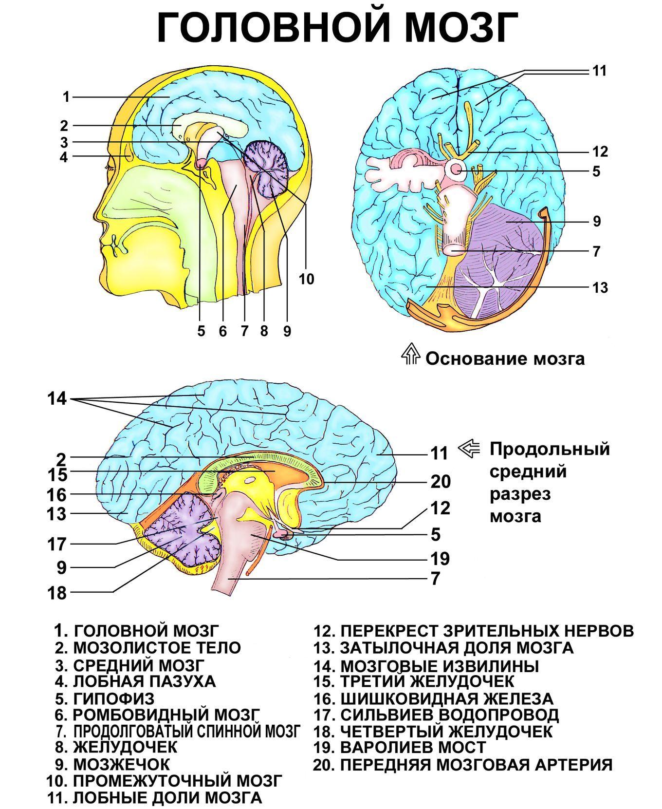 Что такое рептильный мозг и как он работает? | саморазвитие | наша психология