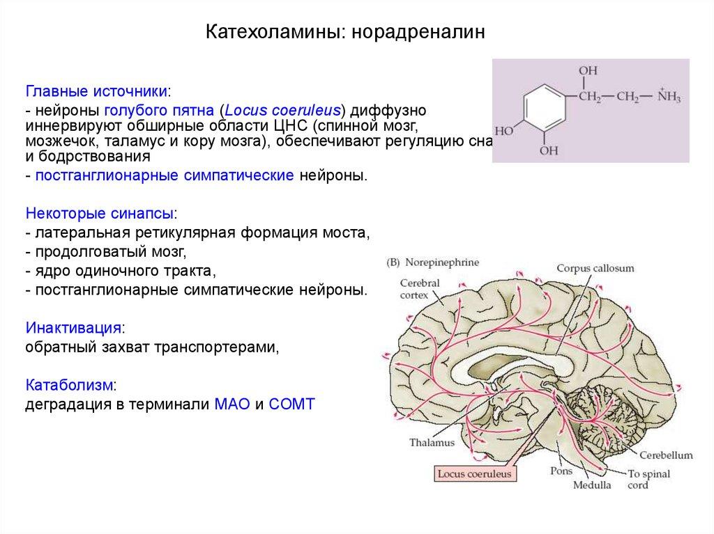 Катехоламины: что это за вещества, каковы их функции? что показывают анализы мочи и крови на содержание катехоламинов