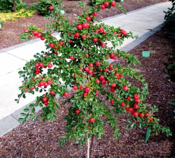 Растение кизил: фото и описание плодов дерева, посадка, уход, выращивание кизила с видео