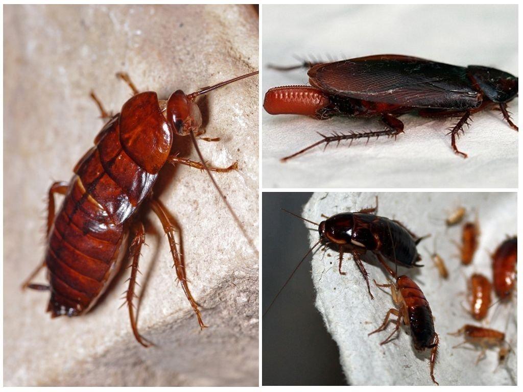 Виды тараканов, разновидности с полным описанием и фото