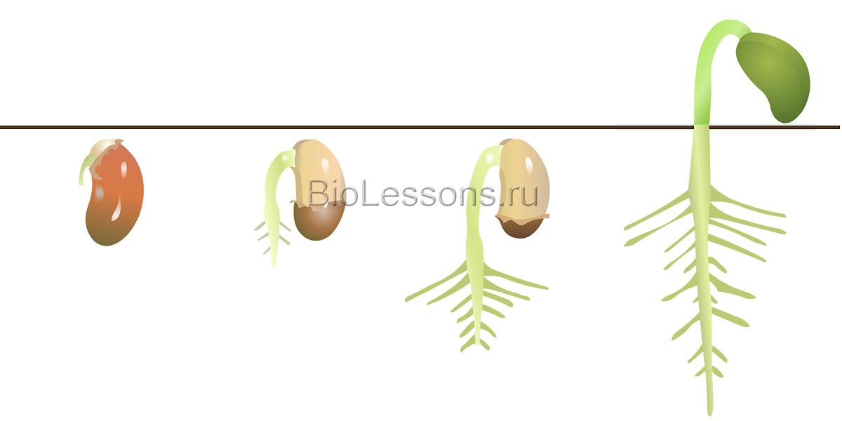Польза пророщенных семян. как вырастить проростки в домашних условиях