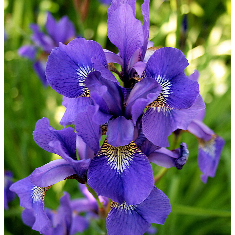 Ирис (растение) — википедия переиздание // wiki 2