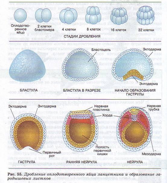 Эктодерма - это наружный зародышевый слой