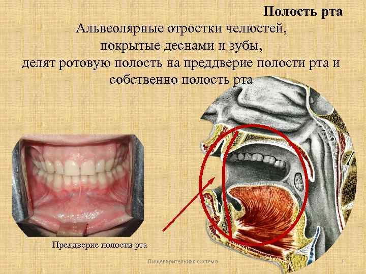 Что такое альвеолы у человека. что такое альвеолы во рту, их влияние на зубной ряд