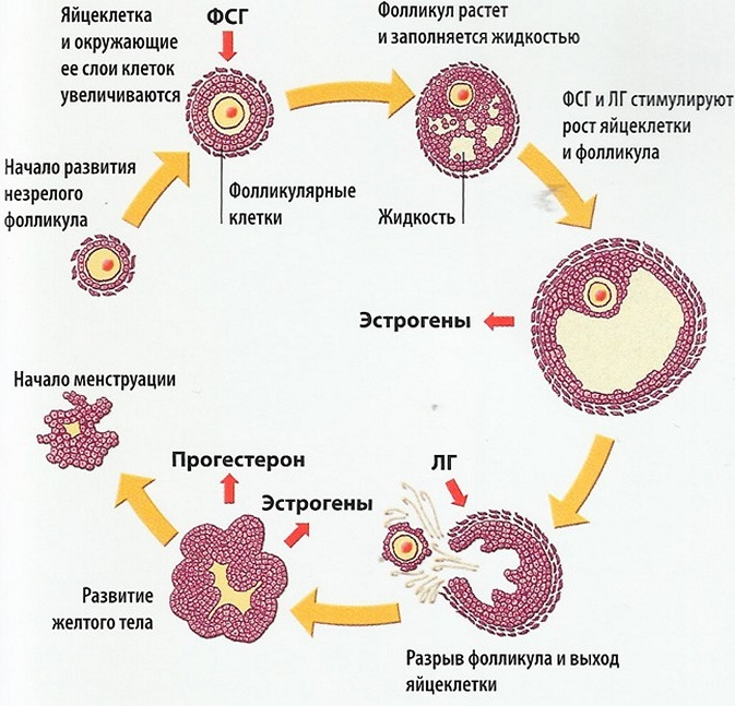 Много фолликулов в яичнике: что это такое и является ли поликистозом, причины возникновения и методы лечения и диагностики