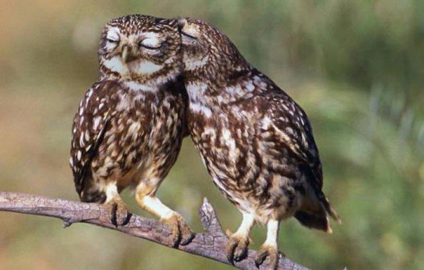 Сыч - это птица из семейства совиных: описание, образ жизни, ареал обитания :: syl.ru