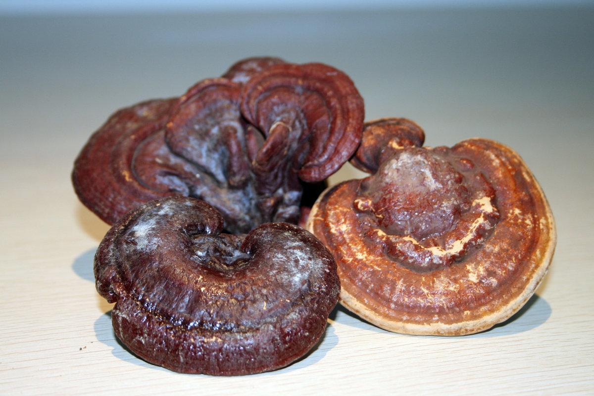 Лечебный гриб рейши (ганодерма), приготовление средств, применение