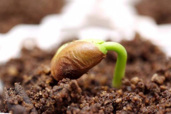 ᐉ стратификация семян в домашних условиях – что это, как её проводить - roza-zanoza.ru
