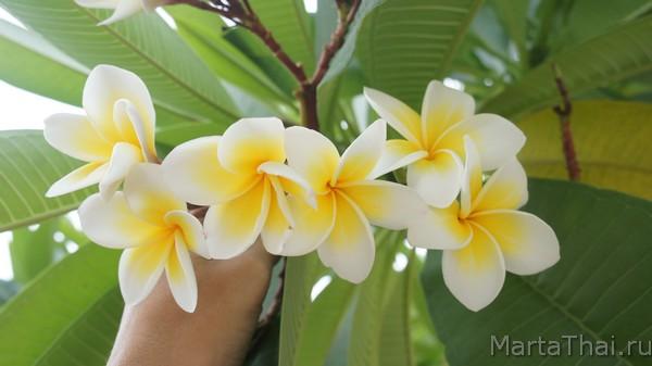 Цветок плюмерия франжипани: уход в домашних условиях с фото