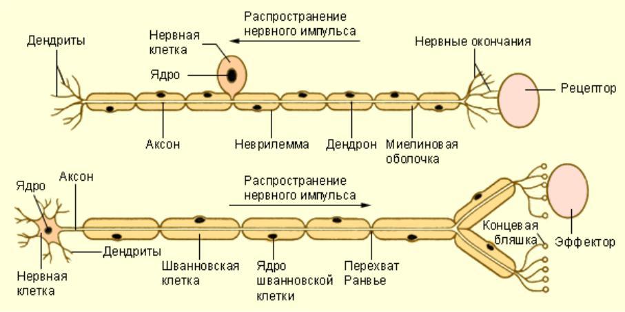 Блуждающий нерв: почему он важен и как его стимулировать, чтобы сохранить психику в порядке :: инфониак