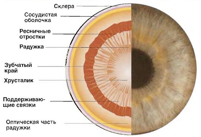 Зрачок это орган или нет: что представляет собой зрачок