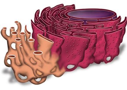 Эндоплазматическая сеть (эпс) – строение, виды и функции