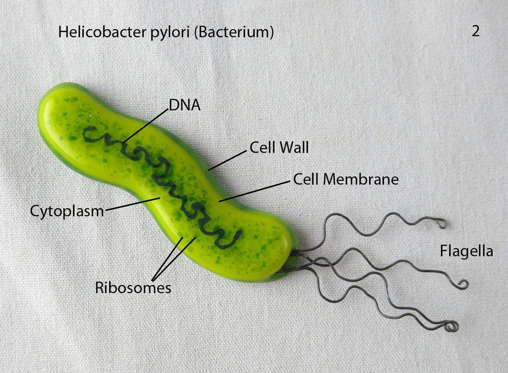 Бактерия helicobacter pylori, что это такое и как лечить?