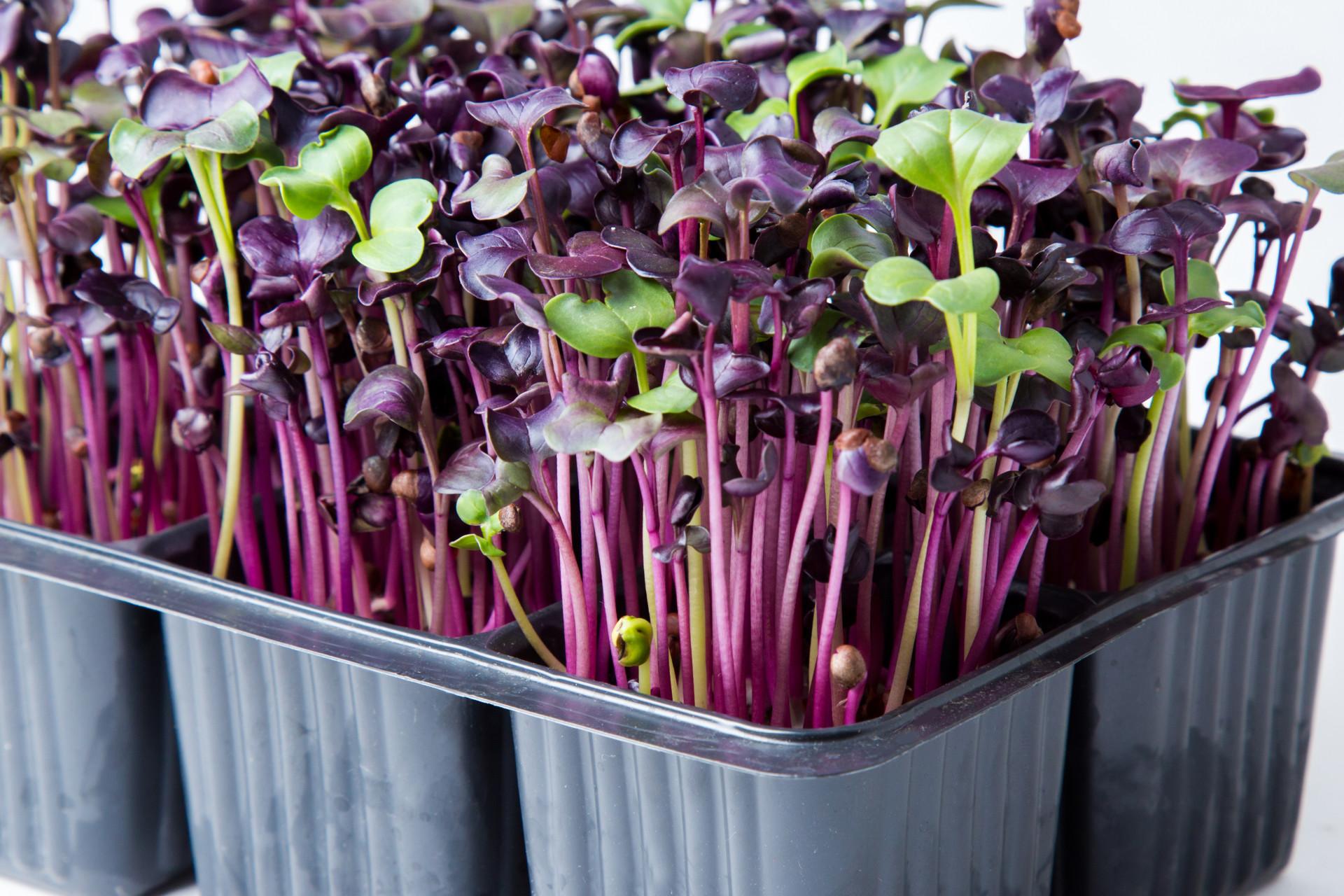 Как вырастить микрозелень дома и в чем ее польза