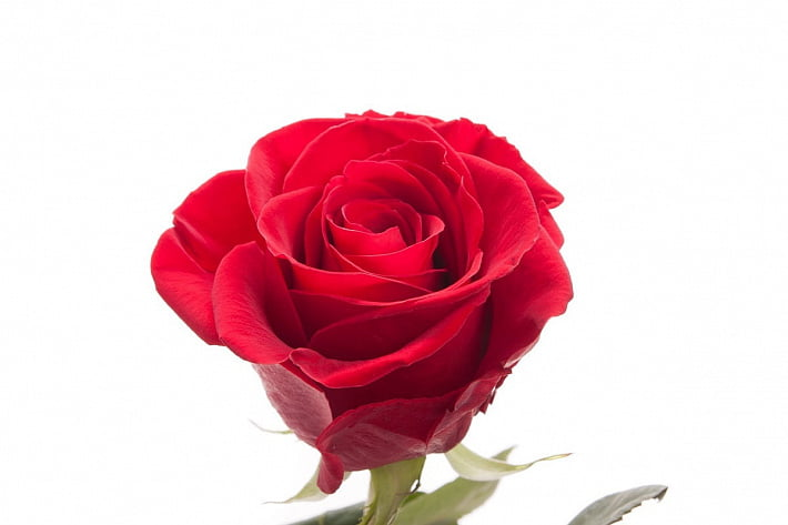 Роза: история и описание цветка