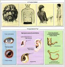 Рудименты человека: примеры и описание. рудиментарные органы и атавизмы - в чем разница?