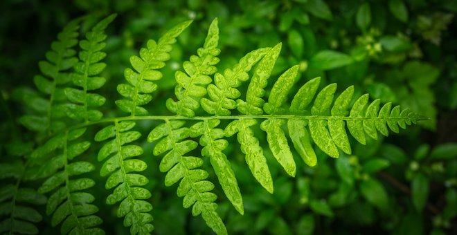Папоротник орляк: описание растения, характеристика
