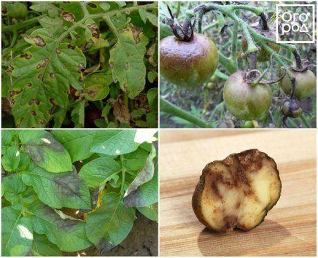Фитофтора на помидорах – как бороться?