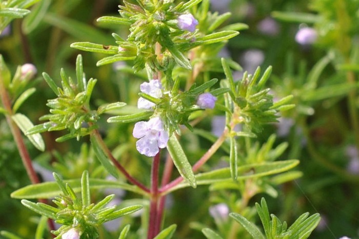 Чабер (кондари) лечебные свойства и противопоказания, применение травы и пряности. фото растения