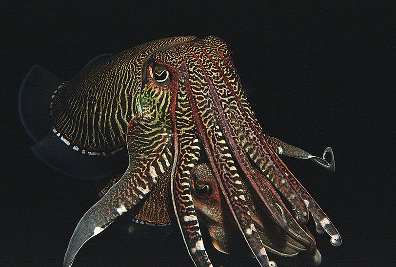 Каракатица, польза и вред для здоровья человека. каракатица — это головоногий моллюск: описание, образ жизни и питание как выглядит каракатица