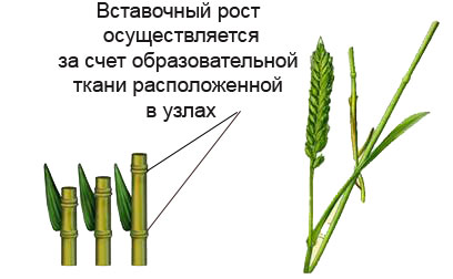 Развитие проростка - bio-lessons