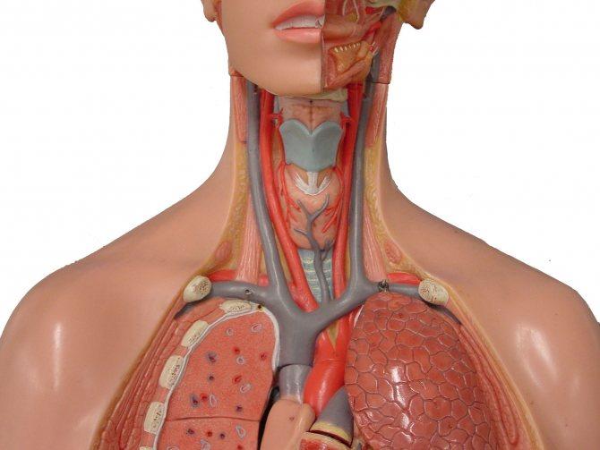 Брахиоцефальные сосуды это - здоров.сердцем